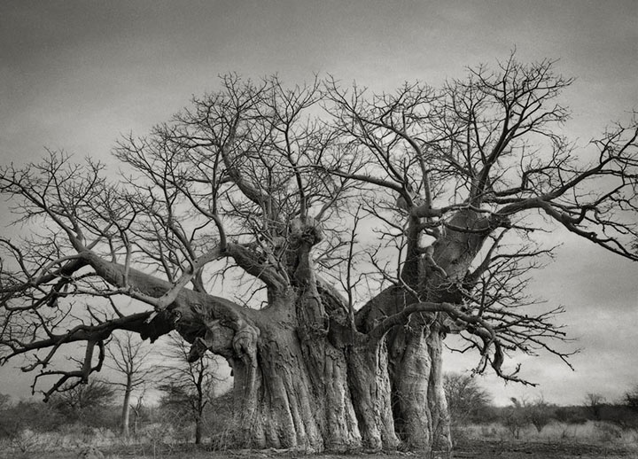 inkulte-ancient-trees-beth-moon-3