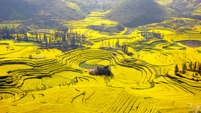 inkulte-colza-Yunnan-Chine